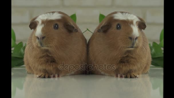 Two guinea pigs talk as announcers on television humor stock footage video