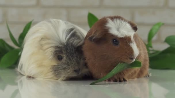 One guinea pig robs another cucumber struggle for survival stock footage video