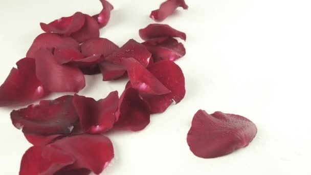 Petals of red roses with drops of water falling on white background slow motion stock footage video