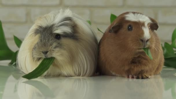 Guinea pigs breed Golden American Crested and Coronet cavy eating cucumber stock footage video