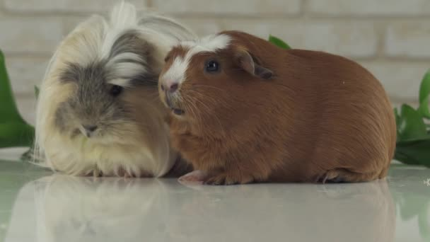 Guinea pigs eat their own droppings to improve digestion slow motion stock footage video