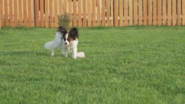 Papillon kontinentális játékszer spániel kiskutya sétál a zöld gyep stock footage videóinak