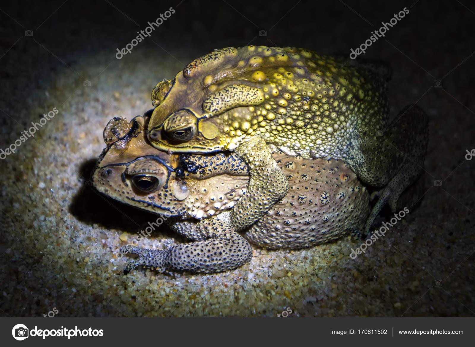 Gemeinsamen braunen Kröten zu reproduzieren, in der Nacht, weibliche ...