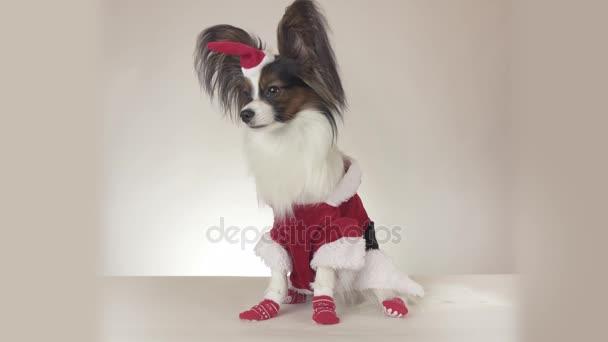 Srandovní mladý mužský pes Continental Toy Spaniel Papillon v kostýmu Santa Clause vypadá kolem na bílém pozadí stopáže videa