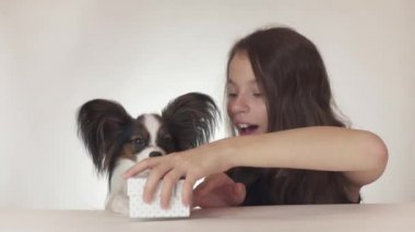 Beautiful teen girl gives a delicious gift to a dog Continental Toy Spaniel Papillon on white background stock footage video.
