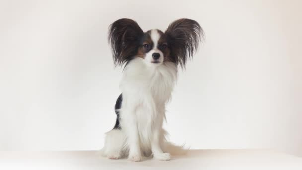 Beautiful young male dog Continental Toy Spaniel Papillon sits and looks around on white background stock footage video