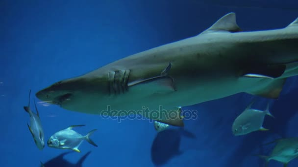 Písek Žralok tygří Carcharias taurus záběry video