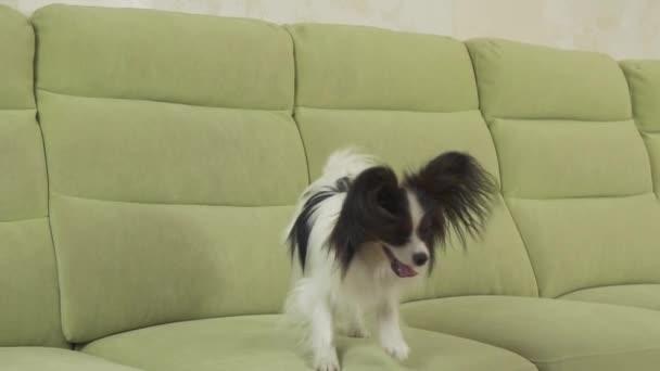 Giovane cane razze Papillon Continental Toy Spaniel cane catture grande  palla e riproduce video d archivio filmati al rallentatore– filmato stock c5a1c4f7b7d