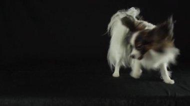 Gyönyörű fiatal hím kutya kontinentális játékszer spániel Ízlelő szemölcsös a kezét a fogadó a fekete háttér lassított stock footage videóinak lejátszása