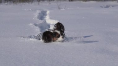 Papillon dog courageously makes his way through the snow in winter park slow motion stock footage video