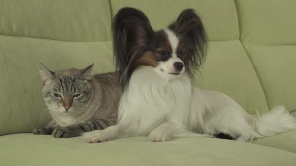 Pes Papillon se nachází kočka thajské stopáže videa