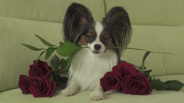 Dog Papillon keeps flower in his mouth surrounded by red roses in love on valentines day stock footage video