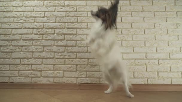 Dog Papillon walks jumping dances spinning on its hind legs against decorative brick wall stock footage video