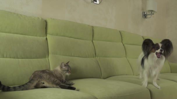 Pes Papillon se škodolibě dívá na cat thajské stopáže videa