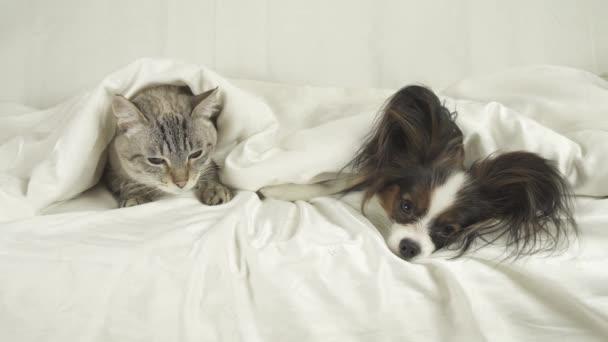 Kočka, pes leží pod přikrývkou, pes skoky z postele stopáže videa
