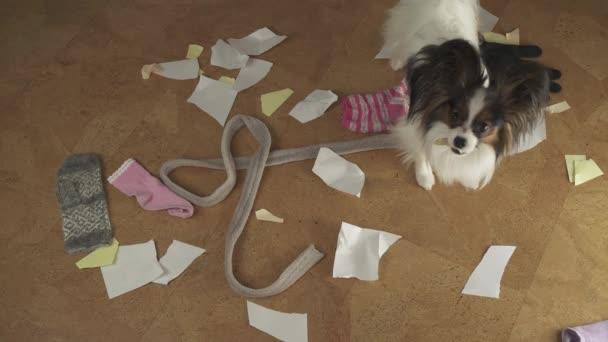 Hund Papillon arrangierte Pogrom im Haus verstreut Dinge und riss das Papier Stock Footage Video