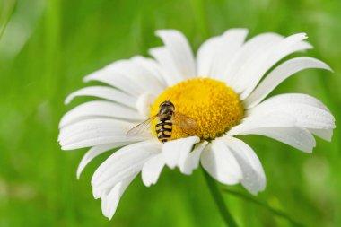 Wasp on chamomile flower
