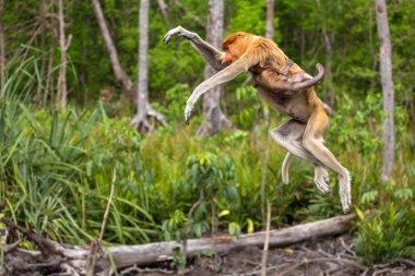 Proboscis Monkeys in endemic