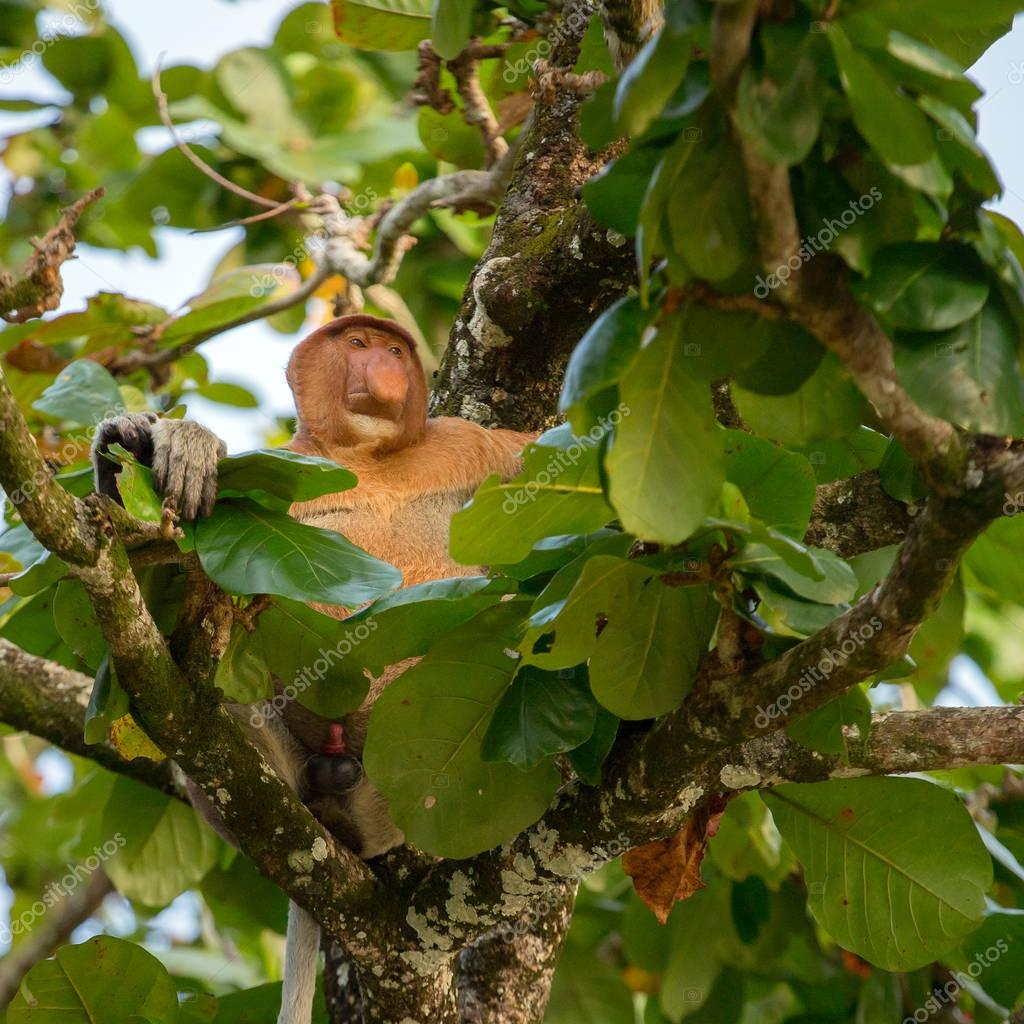 Proboscis Monkey endemic of Borneo