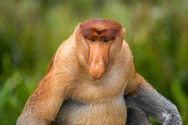 Proboscis monkey closeup