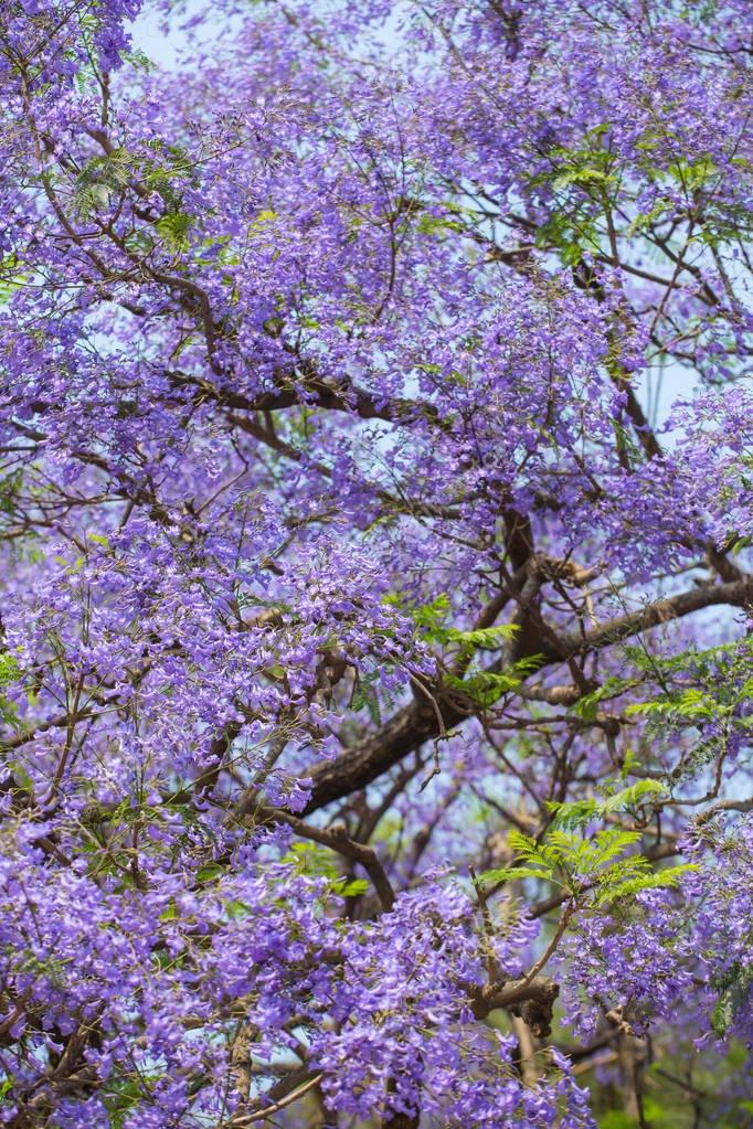 Beautiful blooming violet branches
