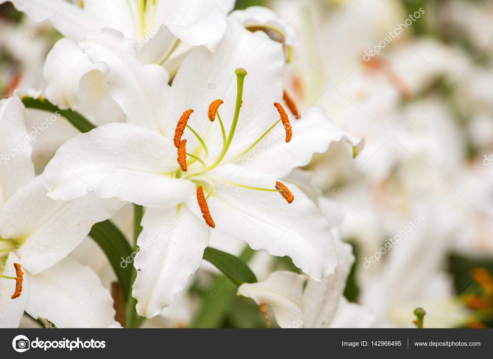 White asiatic lily stock photo mazzzur 142966495 white asiatic lily flower in garden photo by mazzzur izmirmasajfo