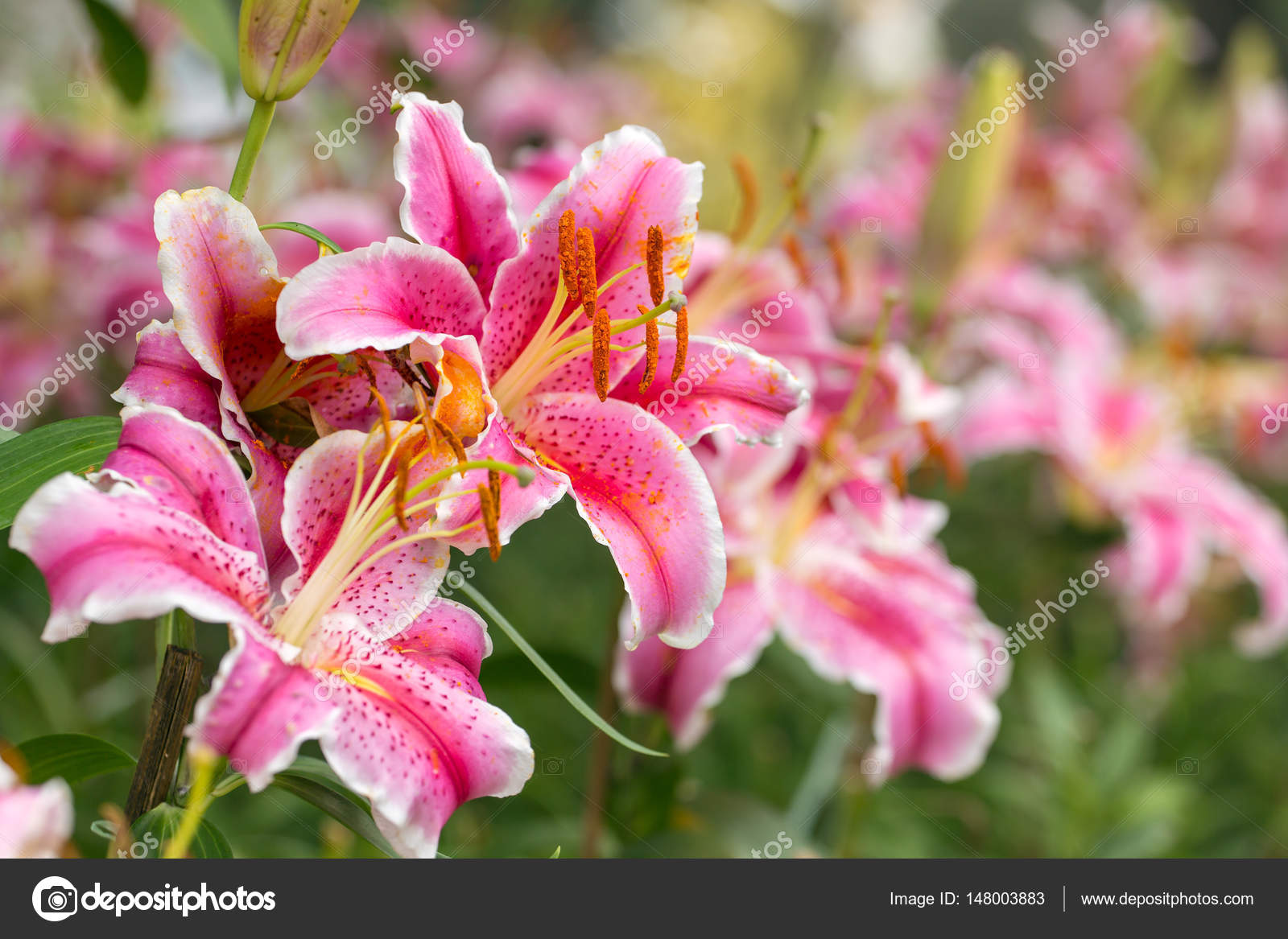 Pink asiatic lily flowers stock photo mazzzur 148003883 pink asiatic lily flowers stock photo izmirmasajfo