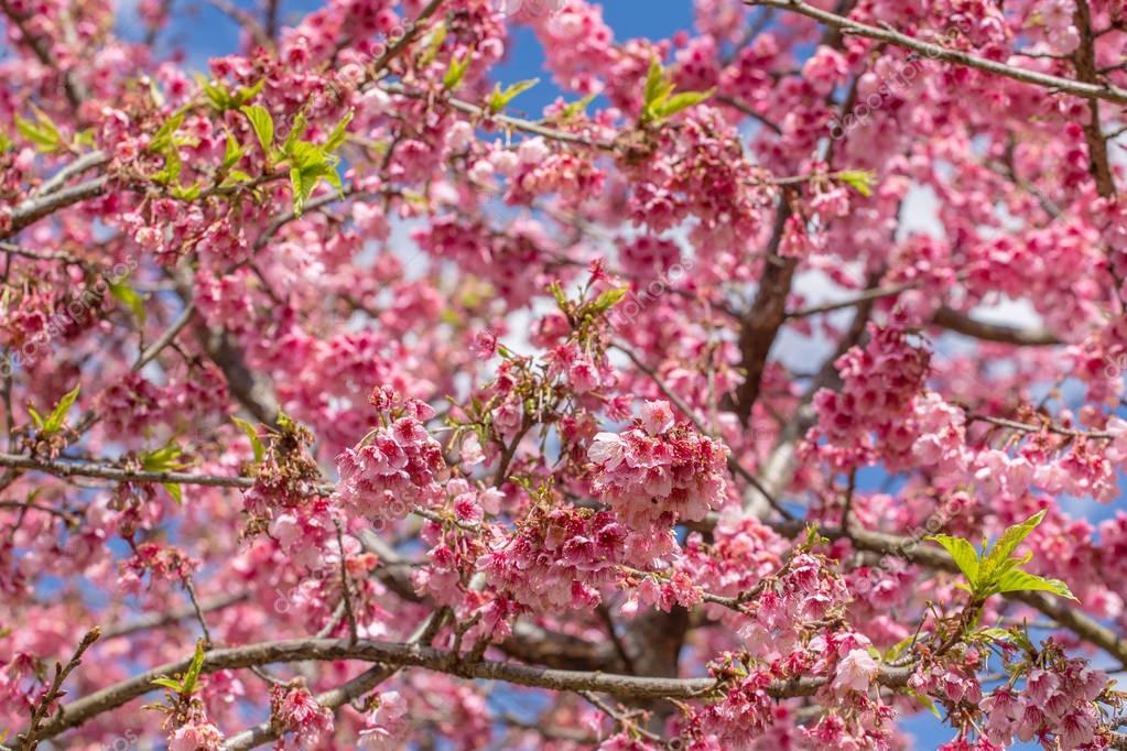 Pink sakura cherry blossom