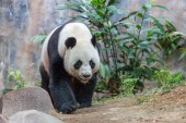 Photo Giant panda walking