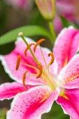 Růžový asijské lilie