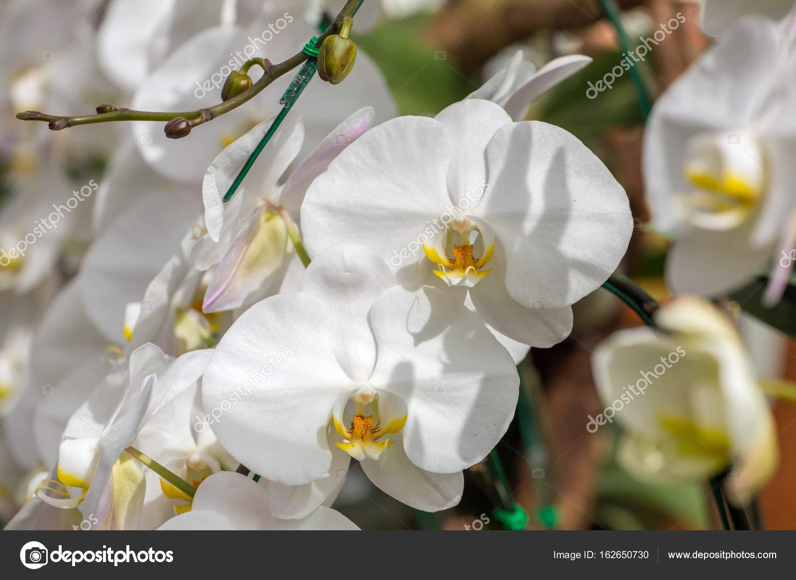 Beautiful White Orchid Flowers Stock Photo Mazzzur 162650730