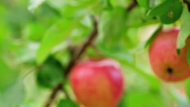 Jabloň s červenými jablky zavřít na větev