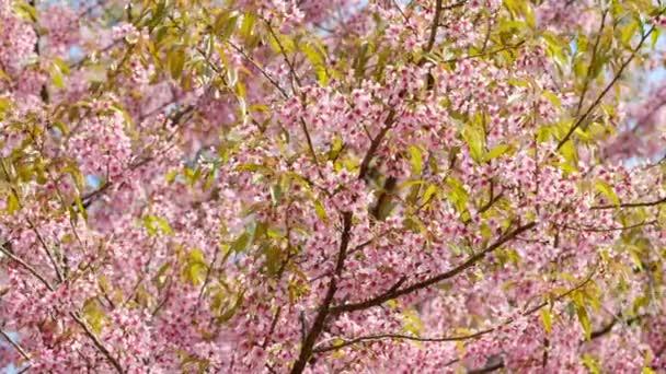 růžový sakura cherry blossom detail