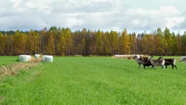 Stádo jelenů běžící přes pole v období říje v Laponsku, Finsko.