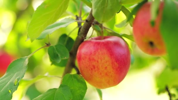 Apple tree with red apples close up on a branch