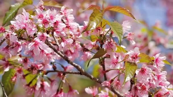 Pomalu se pást přes kvetoucí růžové sakura třešňové květy zblízka