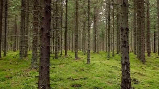 Pov séta a misztikus fenyő és fenyő erdő zöld moha.
