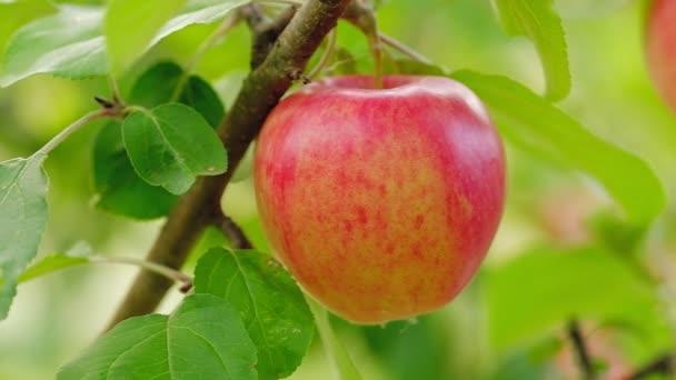 Vörös lédús alma közelkép