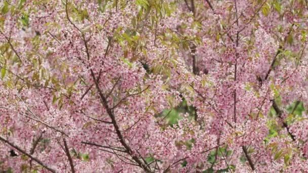 Kvetoucí růžová sakura třešeň s květy zblízka