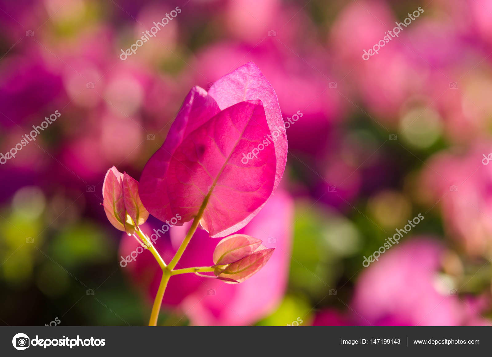 Flowering Bushes With Pink Flowers Stock Photo Soyka564 147199143