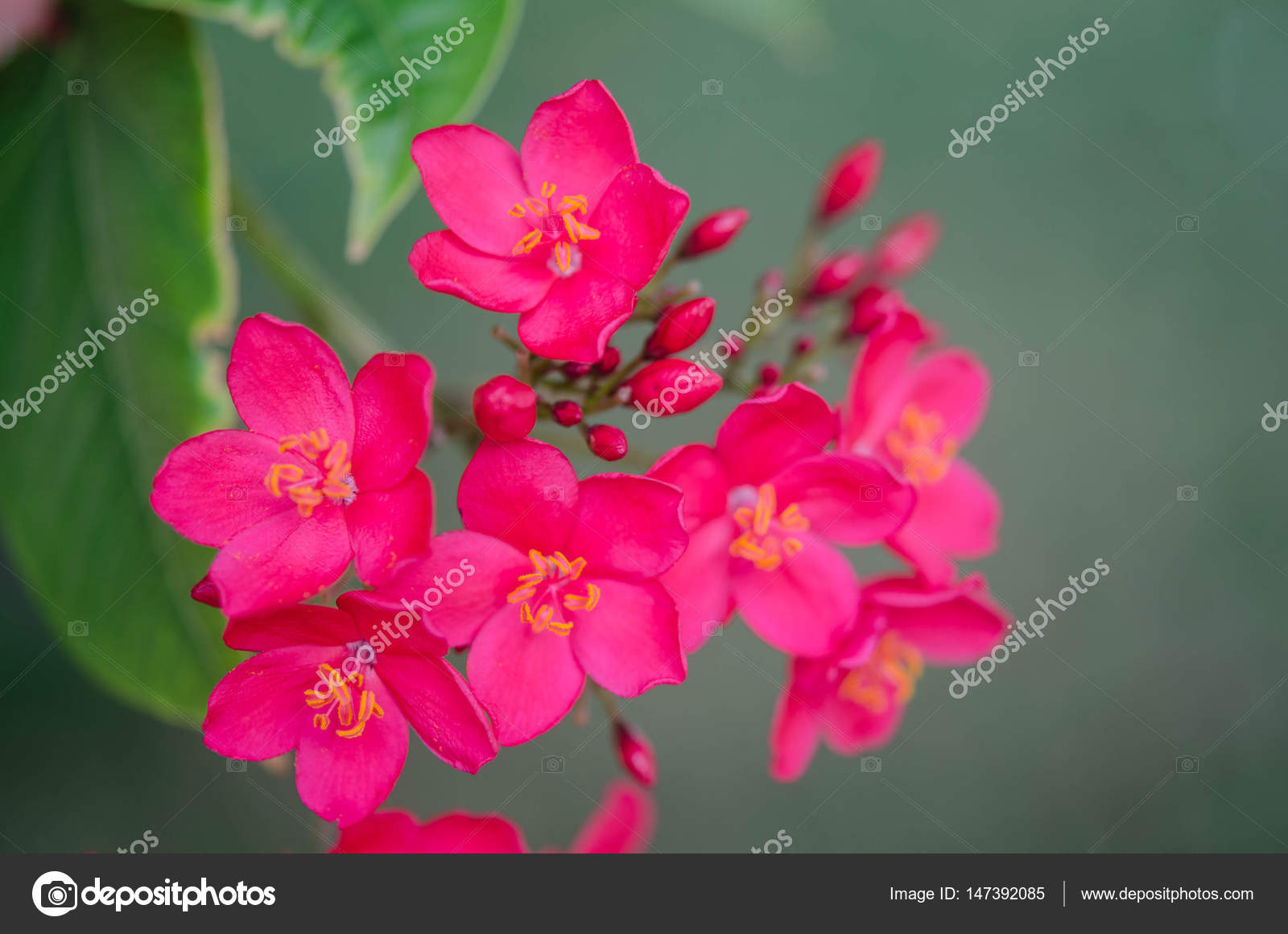 Flowering Bushes With Pink Flowers Stock Photo Soyka564 147392085