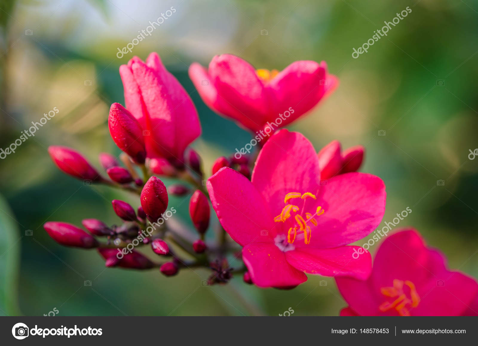 Flowering Bushes With Pink Flowers Stock Photo Soyka564 148578453