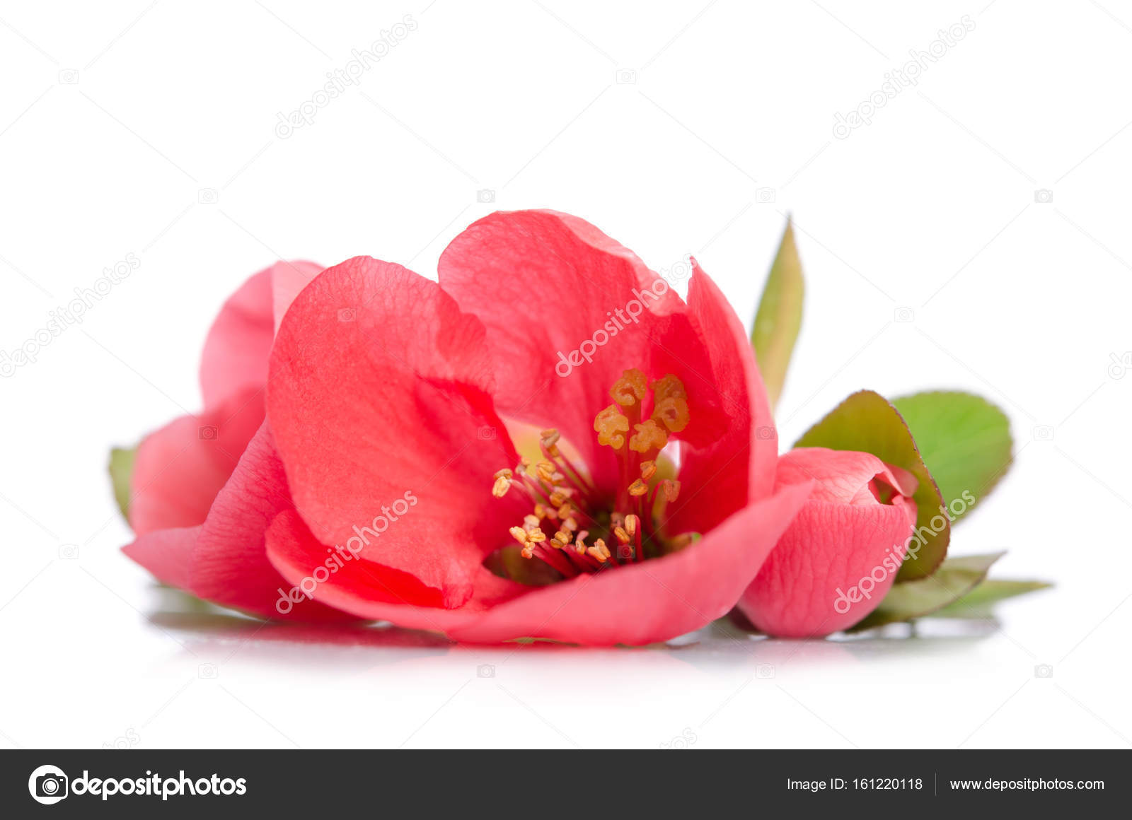 Beautiful coral flowers with buds on white background stock photo beautiful coral flowers with buds on white background photo by soyka564 mightylinksfo