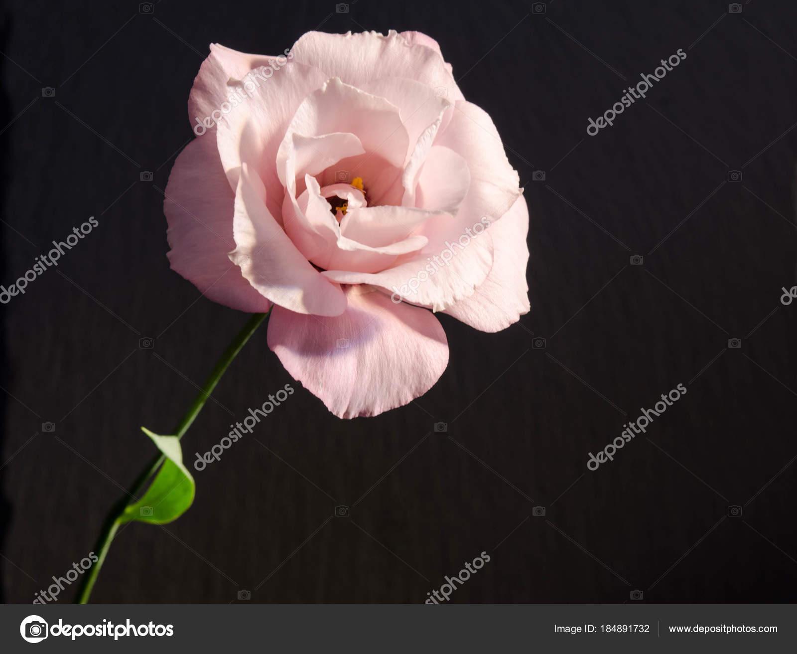 Beautiful Single Eustoma Flower Rose On Dark Background Stock