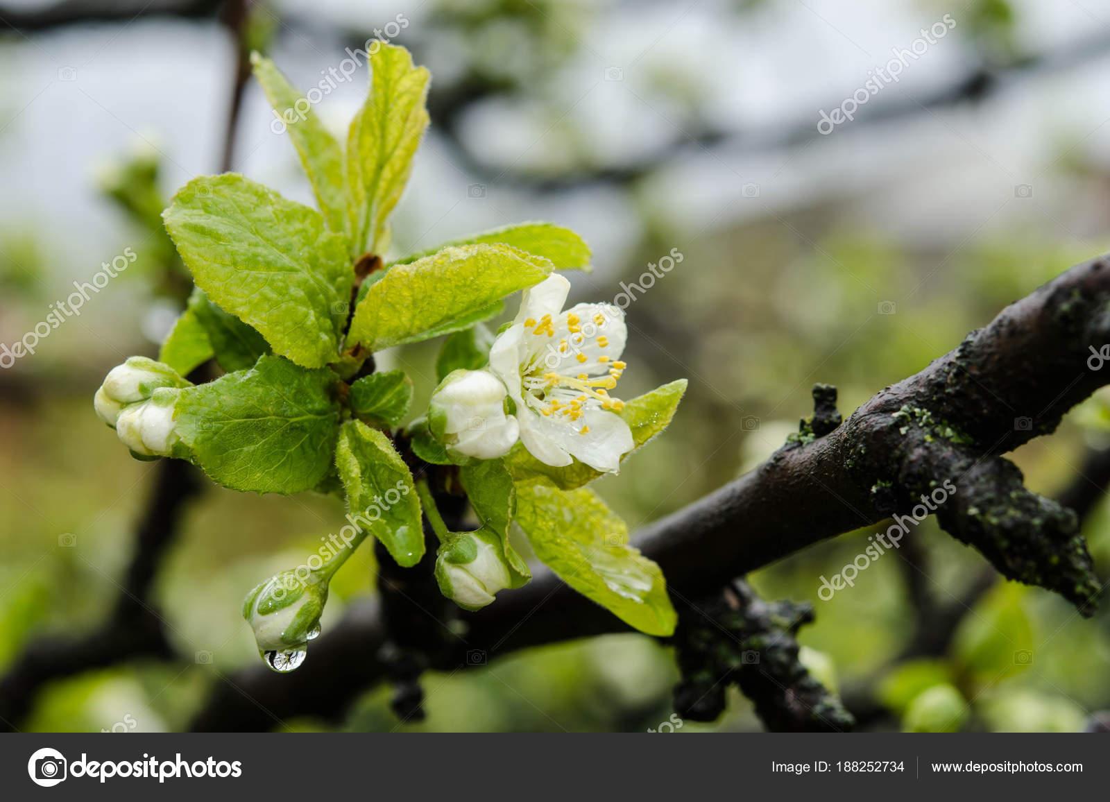 Fleur De Cerisier Blanc Dans Un Jardin Photographie Soyka564
