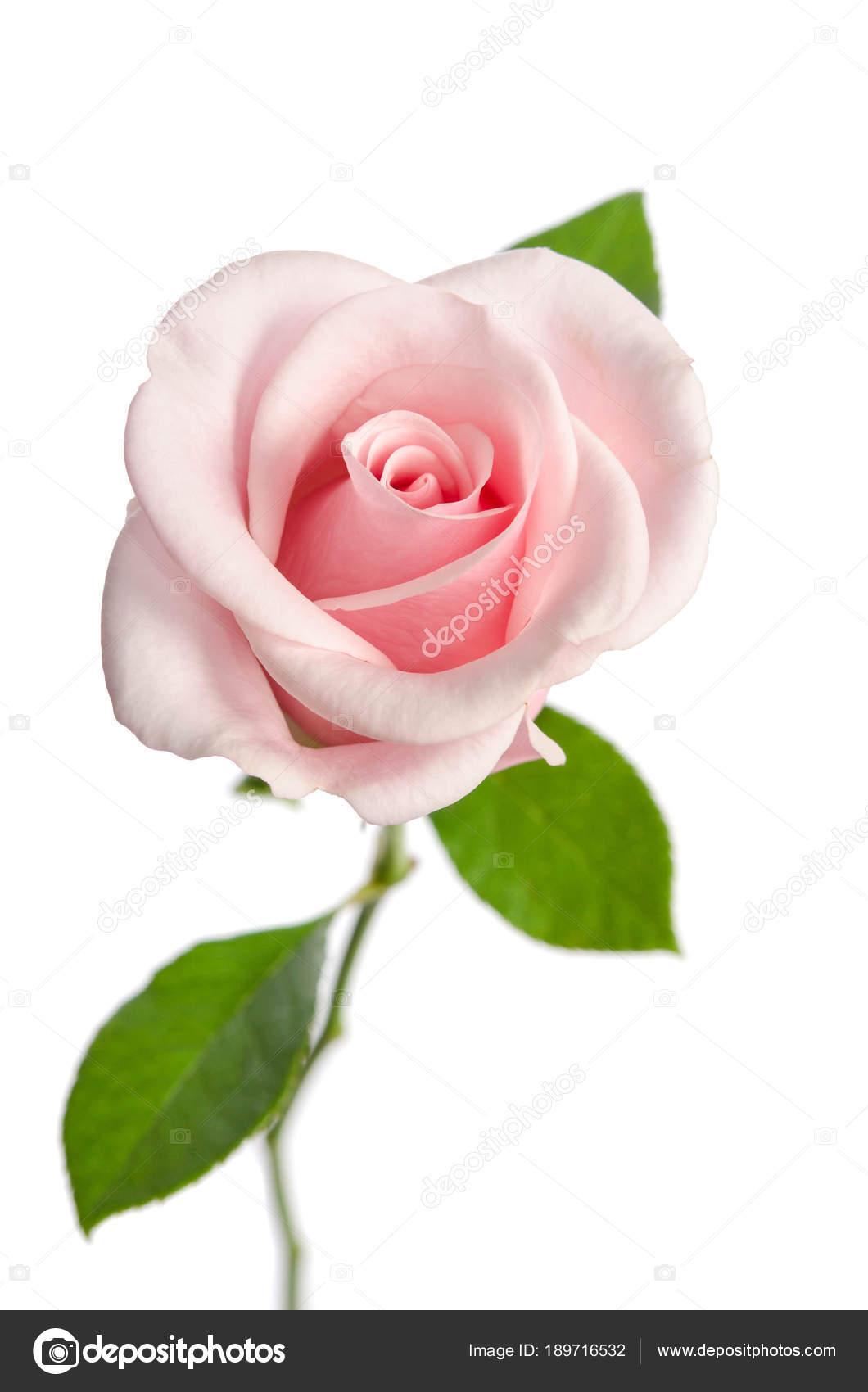 single pink rose isolated on white background stock photo