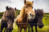 Koně v otevřené pastviny na Islandu