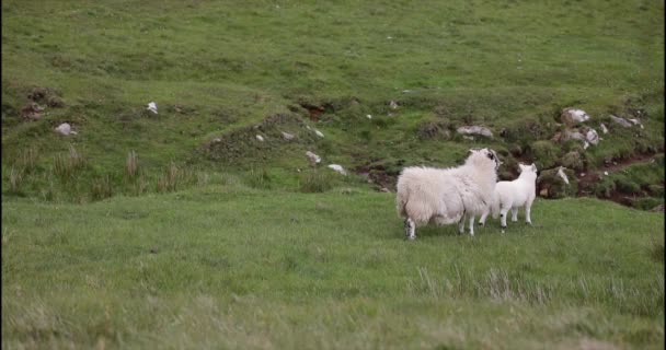 landschaftlich reizvolle schottische Weiden mit Schafen in traditioneller Landschaft.