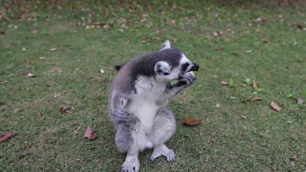 Lemur ve volné přírodě v tropickém parku. Zpomalené záběry.