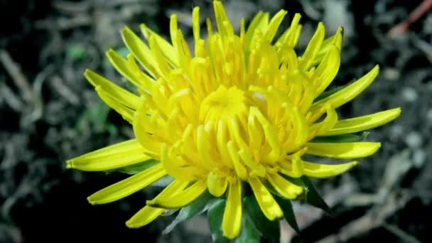 Dandelion opening its blossom - timelapse